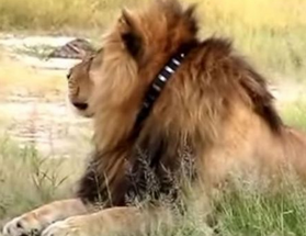 Cecil-the-Lion with a GPS collar